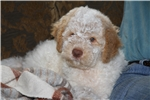 Picture of Anna's Premium Litter has 2 available - RESERVE!