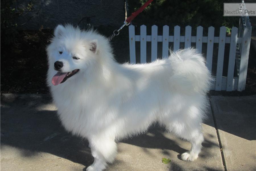 Standard American Eskimo Dog For Sale