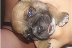 Staffordshire Bull Terriers for sale