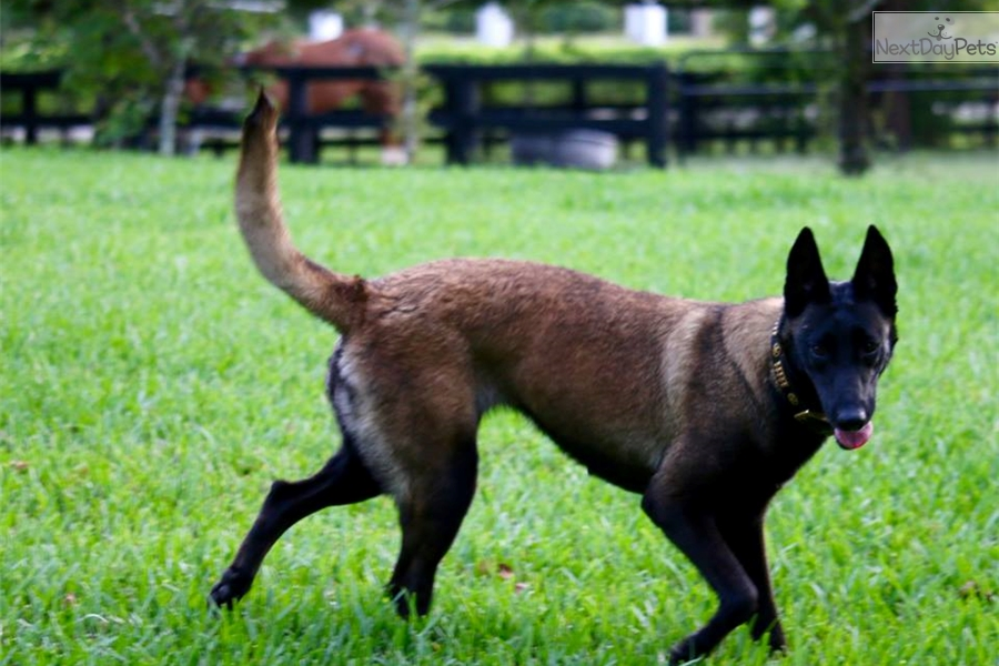 belgian malinois pcci papers for sale Why buy a belgian malinois puppy for sale if you can adopt and save a life look at pictures of belgian malinois puppies in rescues near you who need a home.