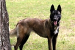 Picture of ELITE MALINOIS PUPPIES