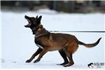 Picture of KNPV PH 1 PERSONAL PROTECTION DOGS EUROPEAN IMPORT