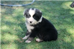 Australian Shepherd for sale