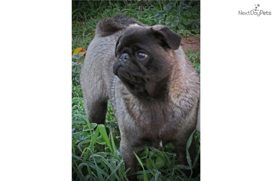 Rare Color Pug Puppies For Sale | Dog Breeds Picture