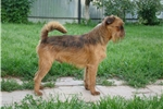 Brussels Griffon for sale