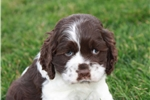 Picture of Adorable Shih Tzu Pups Available For Sale.