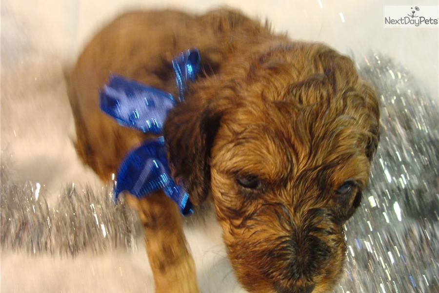 Mini Irish Doodle Puppies Pa Dog Breeds Picture Mini Irish Doodle ...