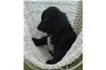 Picture of Irish Doodle Puppy