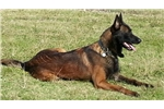 Picture of Belgian Malinois Puppies For Sale AKC  KNPV lines