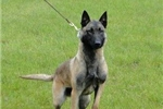Picture of AKC Belgian Malinois Female Puppy For Sale