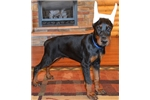 Picture of Kain , Doberman male with imported parents !