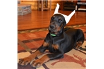 Picture of Khan , Doberman male with imported parents !