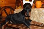 Picture of Lana , black/rust European Doberman female !