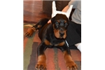 Picture of Nord , Doberman male by imported parents !