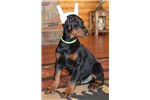 Picture of Nero , Doberman male by imported parents !