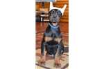 Picture of Niko , Doberman male by imported parents !