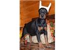 Picture of Leah , black/rust European Doberman male !