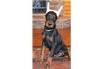 Picture of Kaleb , Doberman male with imported parents !