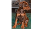 Picture of Dagon , Int. CH. Russian import sired !