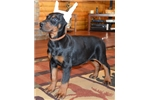 Picture of Novak , Doberman male by imported parents !