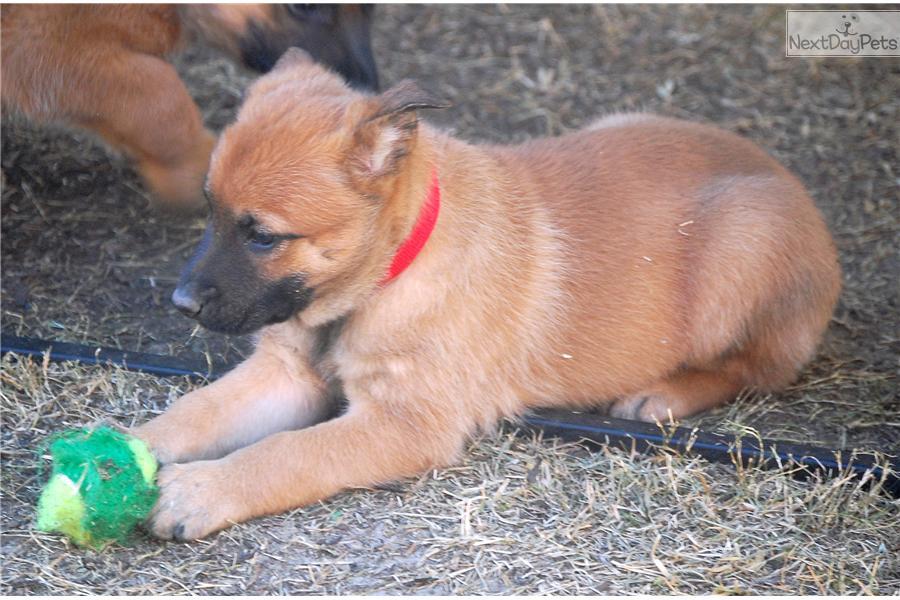 how to work belgian malinois pups