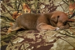Picture of Littler chocalate  Staffy pup