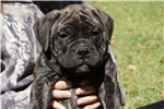 Picture of Green Brindle MALE