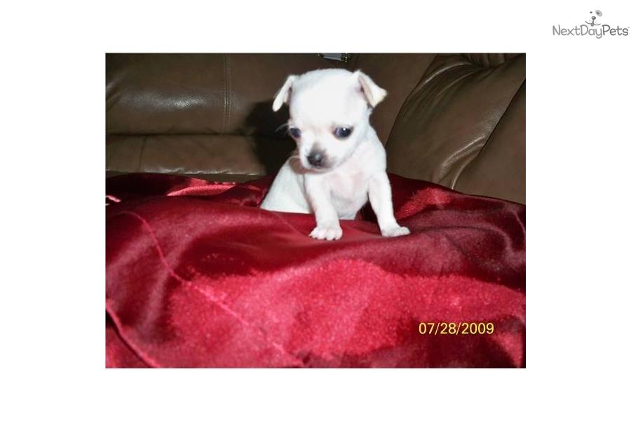 Chihuahua Puppies For Sale In Idaho Djs Premium Chihuahuas Dog | Dog ...