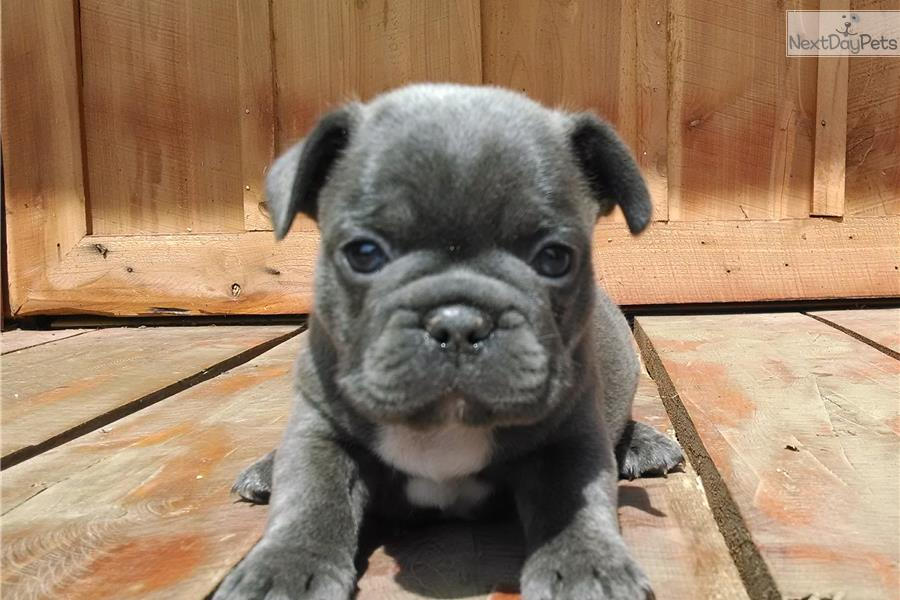french bulldog puppies for sale massachusetts french bulldog puppies ...