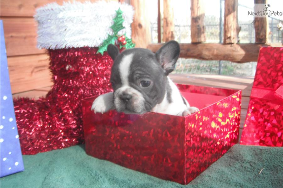 Frenchton Puppies For Sale 400 ↓ ↓ ↓ | Dog Breeds Picture