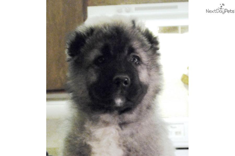 Caucasian mountain dog aka russian bear dog the males reach