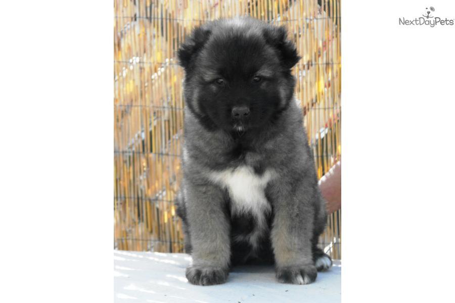 Caucasian mountain dog puppy picture c4473dca 36f8 4737 9d22