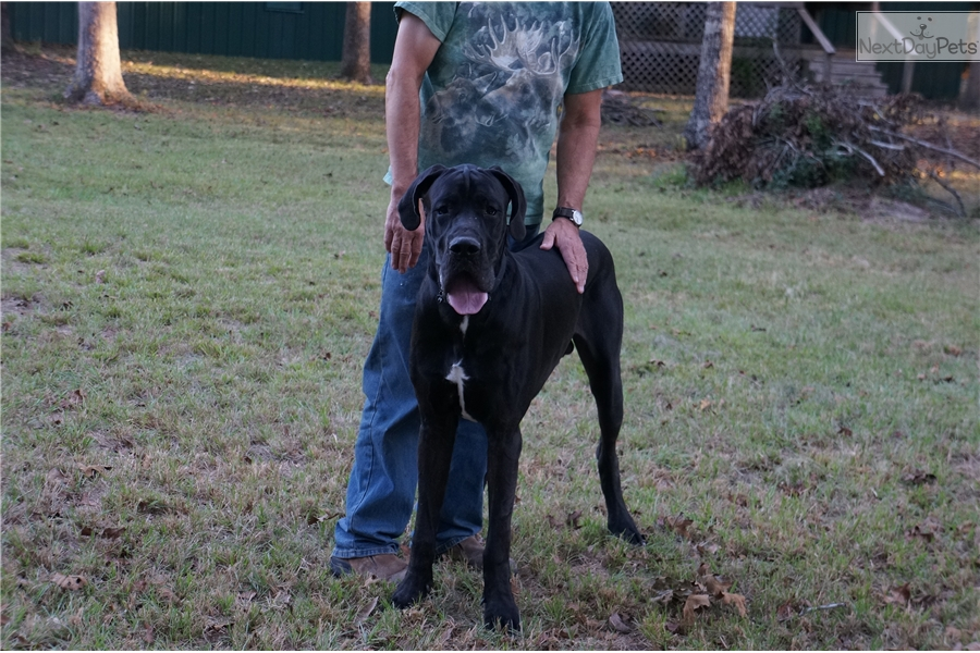 Does anyone have any great dane puppys for sale in houston texas ?