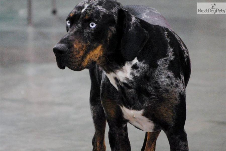 Pics photos catahoula leopard dog puppies for sale in oklahoma
