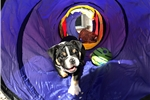 Picture of 3YR Health Guarantee ~ Genesis AKC English Bulldog