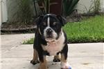 Picture of Genesis AKC English Bulldog ~ Black Tri