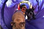 Picture of 3YR Health Guarante ~Fiona AKC English Bulldog