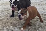 Picture of Prince AKC English Bulldog boy for Sale