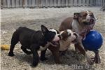 Picture of Bella AKC English Bulldog for sale