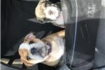 Picture of 3YR Health Guarante ~ Shay AKC English Bulldog