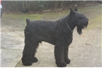 Picture of Beautiful Giant Schnauzer Puppies
