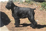 Picture of Female Giant Schnauzer