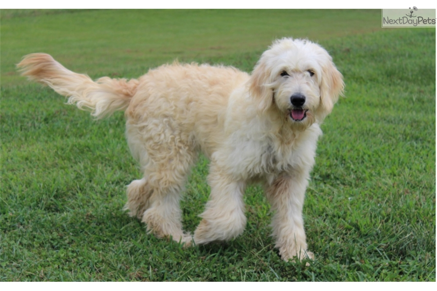 Goldendoodle Service Dog Atlanta