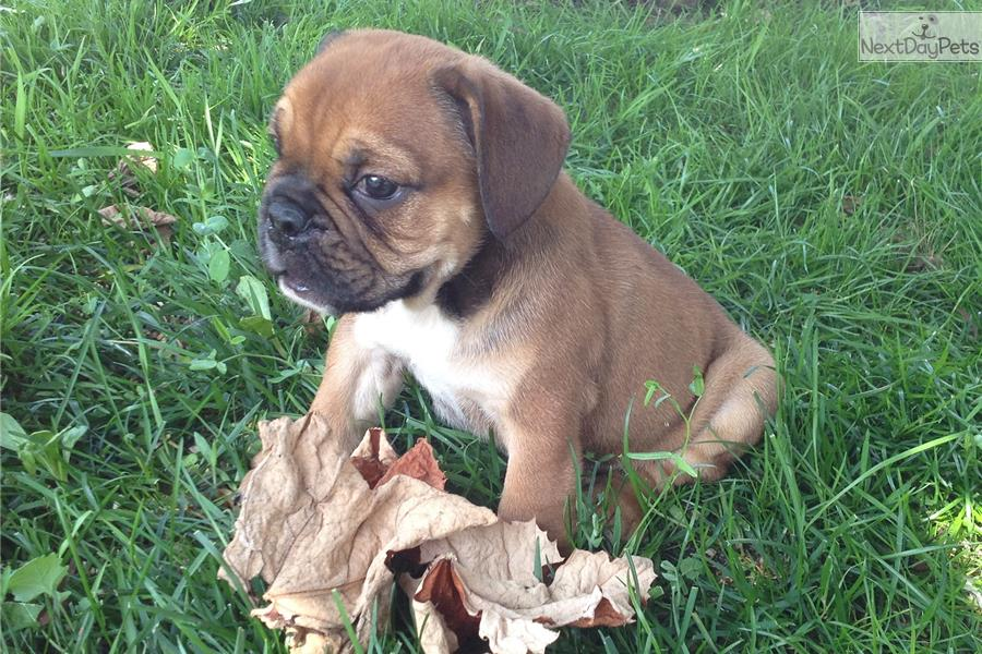 Beabull puppy for sale near Tuscarawas Co, Ohio | 3cff47b4-c291