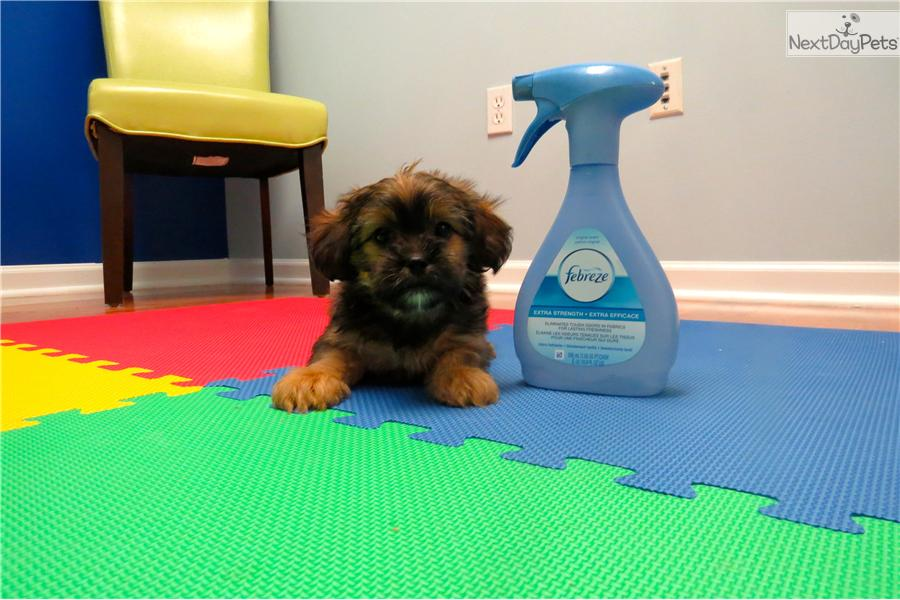 Picture of a Shorkie