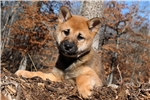 Picture of * AKC -- FEMALE SHIBA * North Carolina $1200*