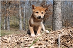 * AKC -- MALE SHIBA * North Carolina $1200* | Puppy at 10 weeks of age for sale