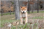 * AKC -- FEMALE SHIBA * North Carolina $1200* | Puppy at 10 weeks of age for sale