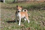 * AKC -- MALE SHIBA * North Carolina $1200* | Puppy at 13 weeks of age for sale