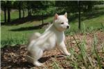 Picture of * AKC -- MALE SHIBA * North Carolina $1200*
